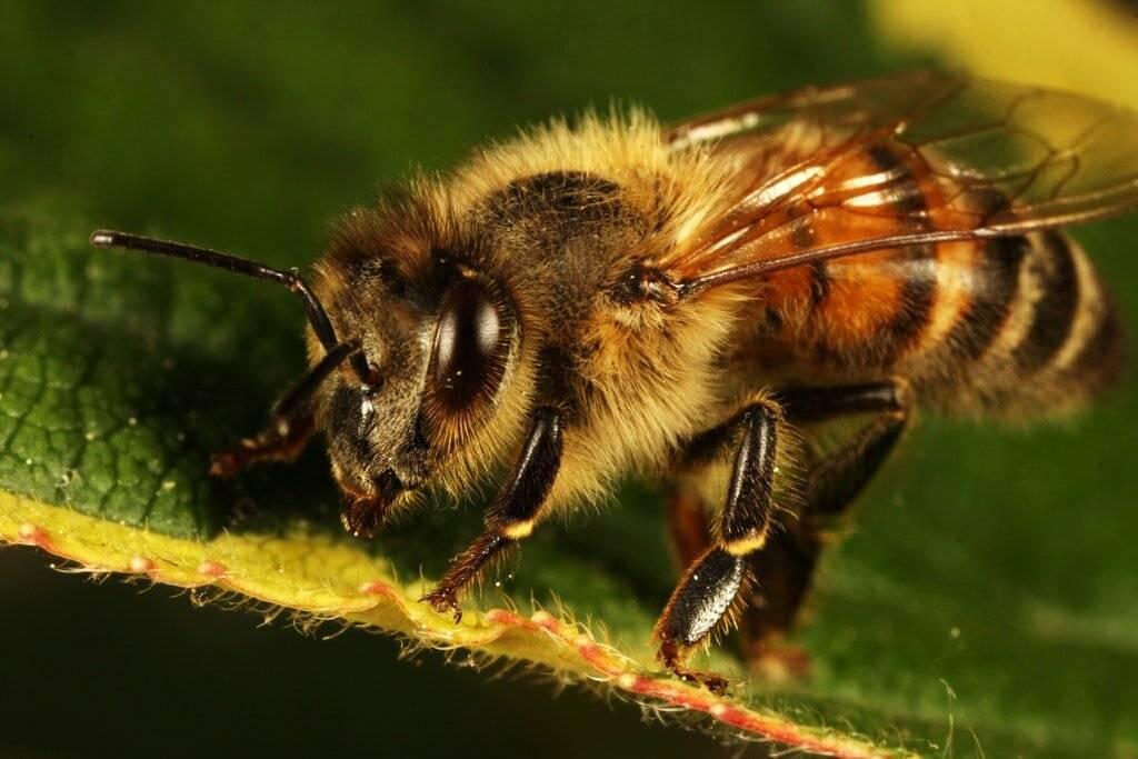 Болезни пчёл: признаки, лечение и профилактика