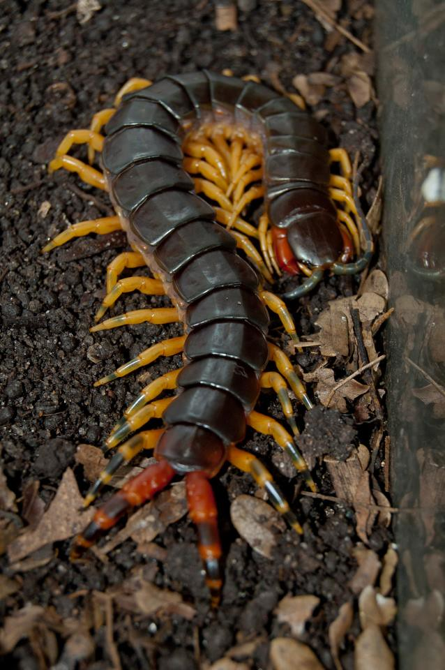 Кто такие сколопендры: характеристика этих насекомых, где обитают и опасен ли её укус для человека