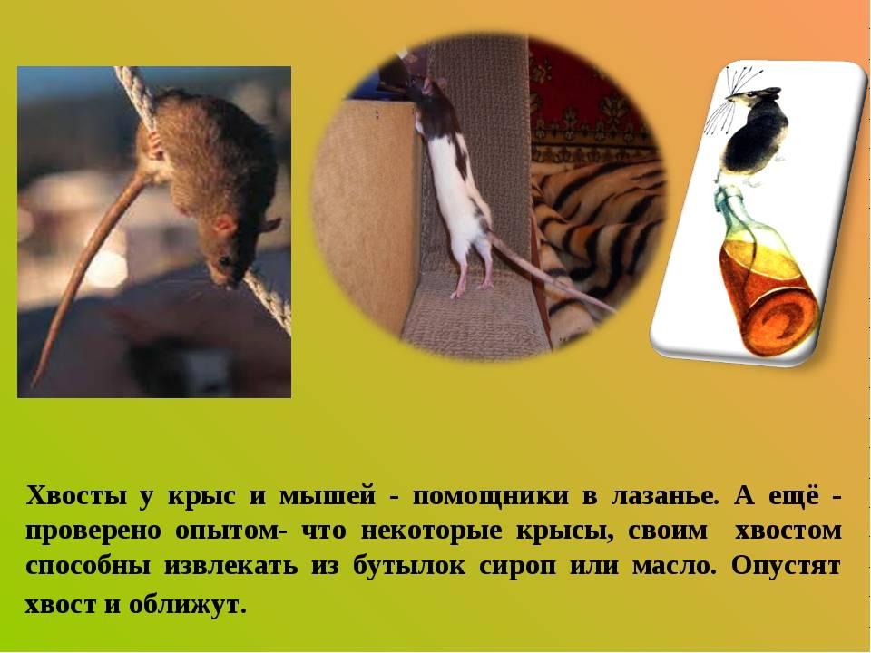 Часто задаваемые вопросы о домашних крысах - kotiko.ru