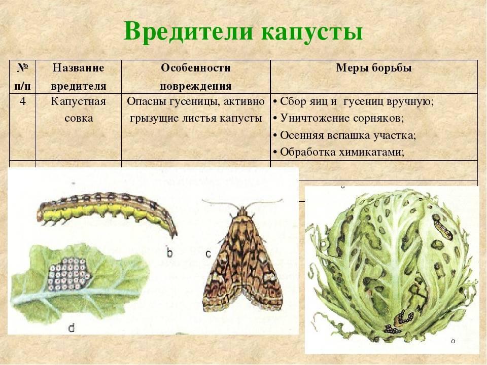 Кто такая капустная тля и какими методами можно от нее избавиться?