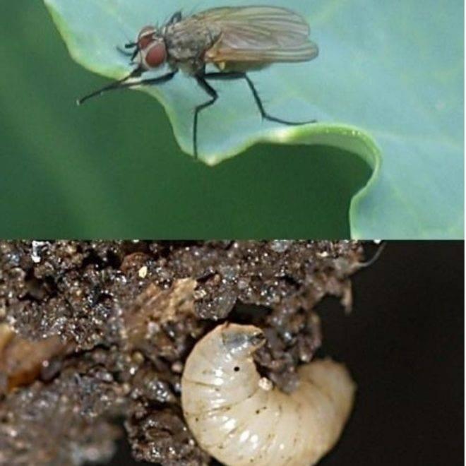 Капустная муха – как избавиться от вредителя?
