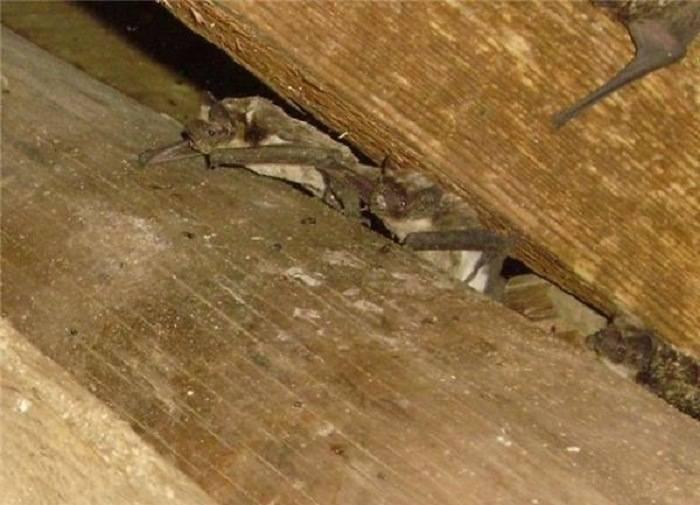 Как избавиться от летучих мышей, не убивая их