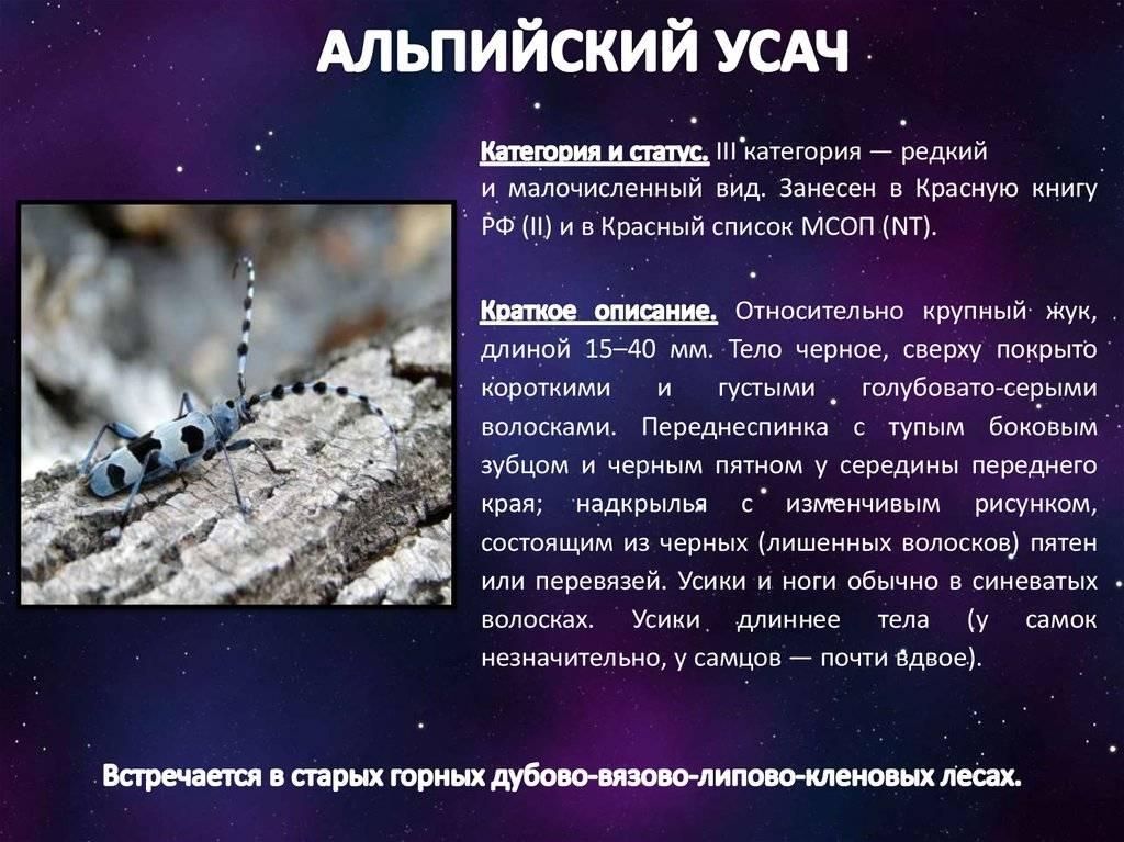 Альпийский усач - самый красивый жук