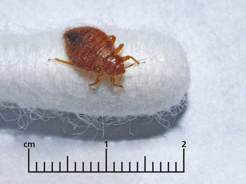 Сколько живут клопы: особенности питания клопов, как появляются следы от укусов