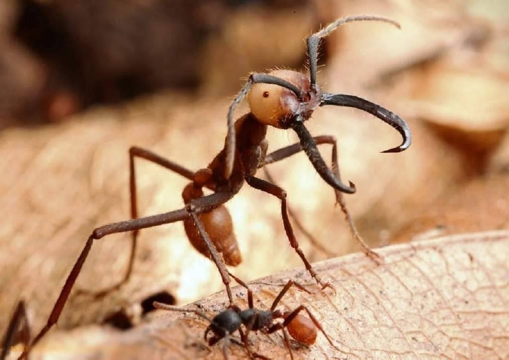 Бывают ли ядовитые муравьи?