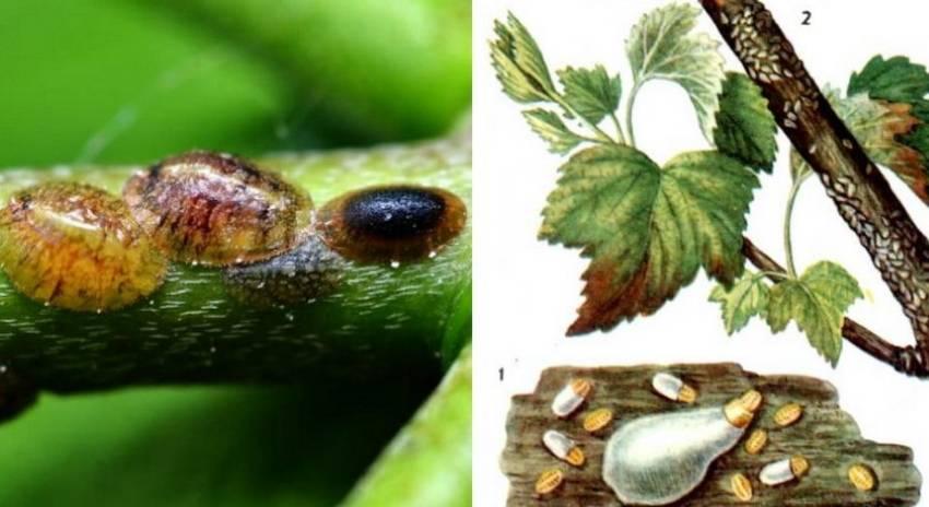 Гусеницы на смородине: как бороться с вредителями