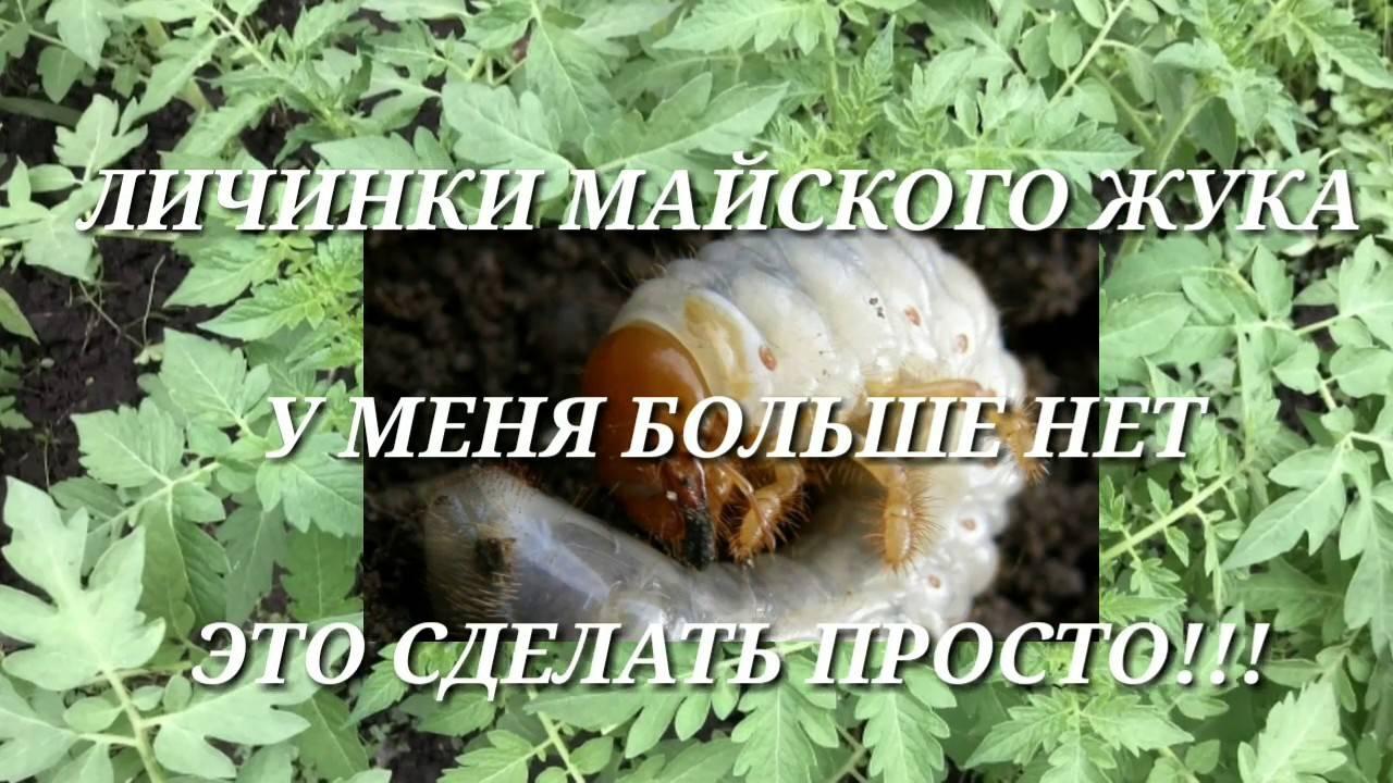 Кивсяк, или черви на клубнике: как спасти урожай