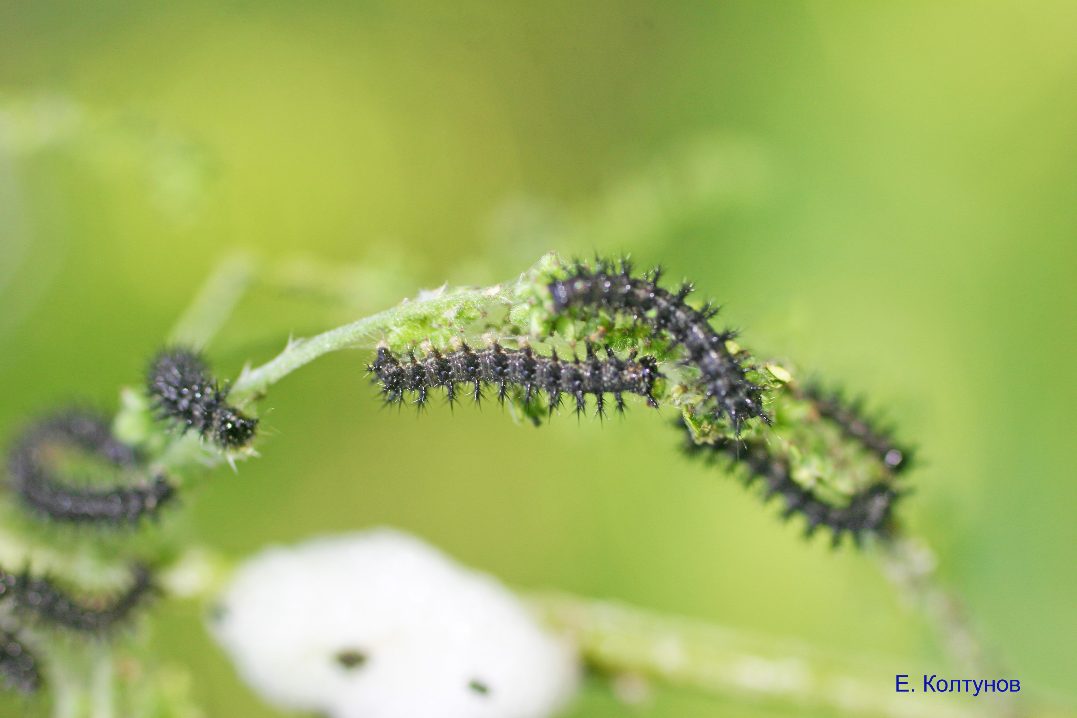 Значение бабочки крапивницы в природе