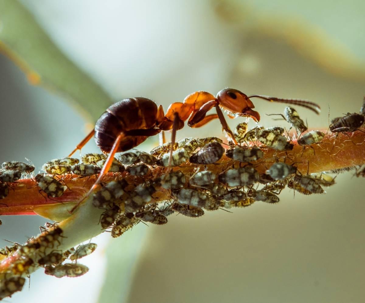 Муравьи и тля: как избавиться. полная информация о вредителях