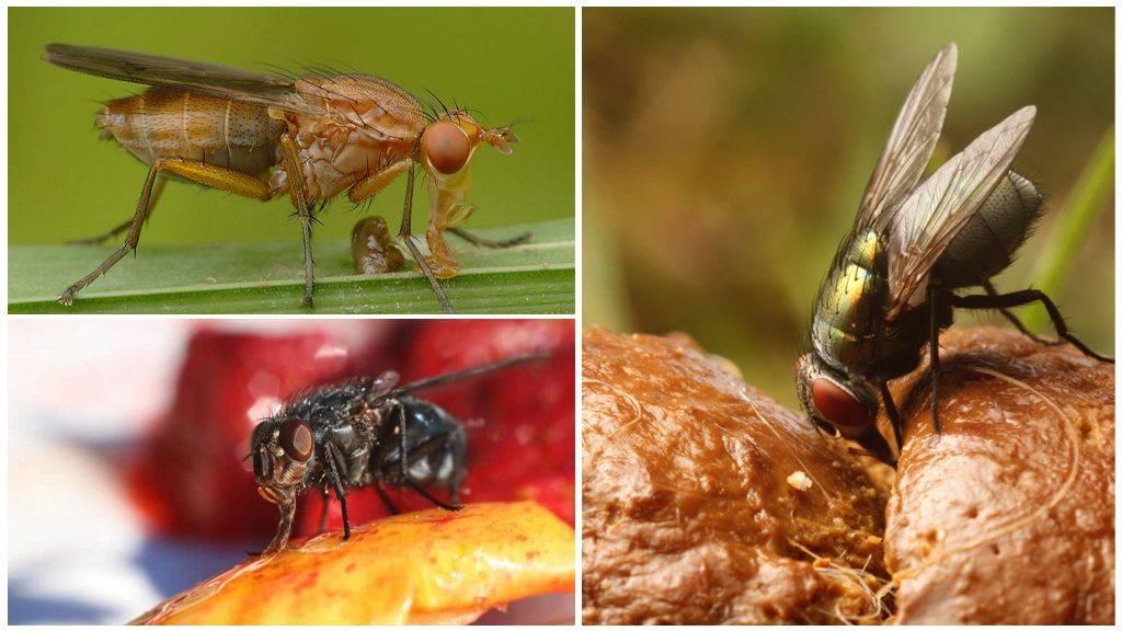 Что едят мухи? Особенности питания, строение ротового аппарата