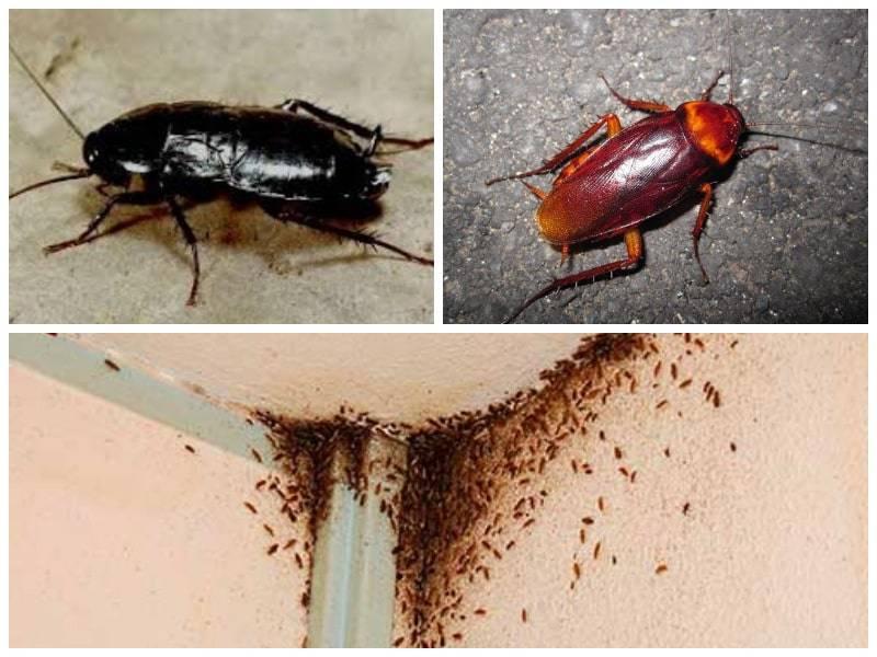Что нужно знать о рыжих тараканах
