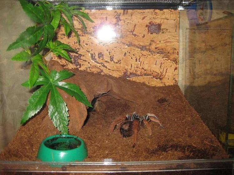 Содержание пауков-птицеедов в домашнем террариуме