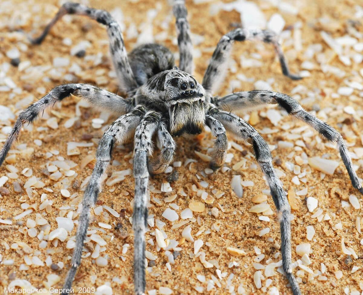 Тарантул: описание паука, среда обитания, сколько живут