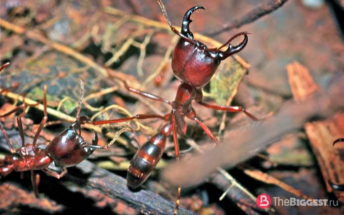 Самые большие муравьи в мире. фото, видео, размеры, где обитают