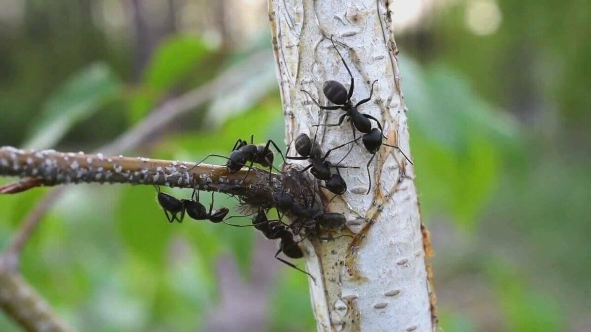 Как избавиться от красногрудого муравья древоточца
