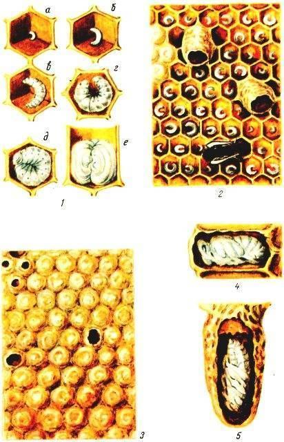 Стадии развития пчел и их питание