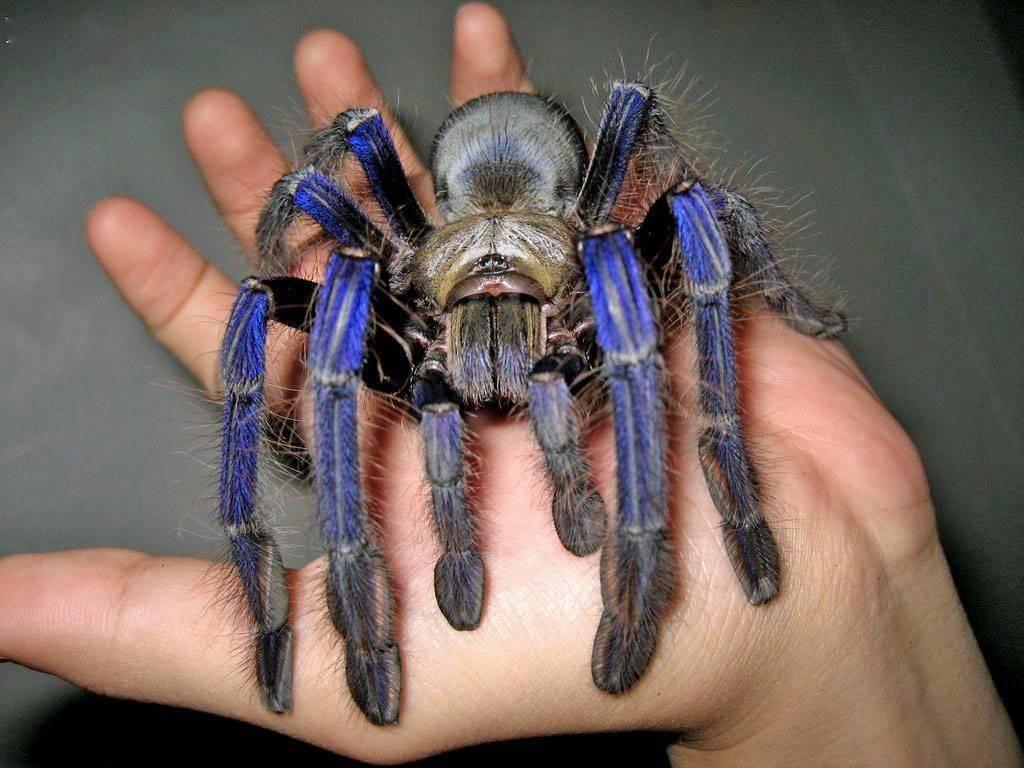 Чёрный птицеед: описание паука и откуда такое название
