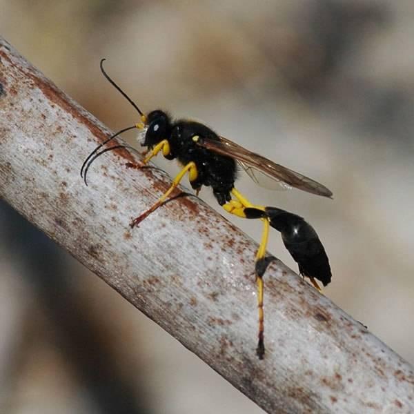 Блестянка огневая: особенности поведения и размножения осы-кукушки
