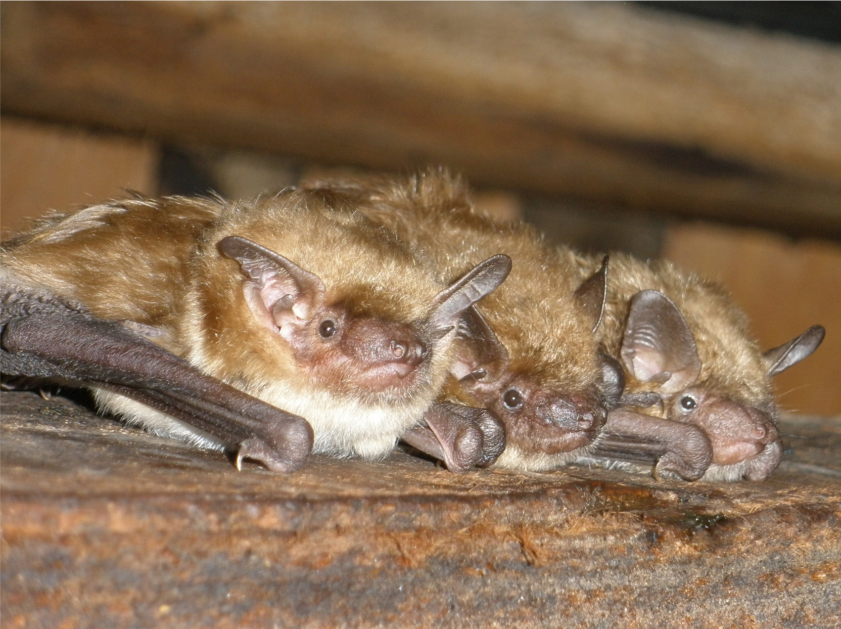 Как избавиться от летучих мышей на даче, чердаке, дома, под крышей