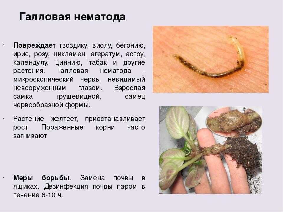 Кто такие нематоды и как бороться с вредителем? спасение растений