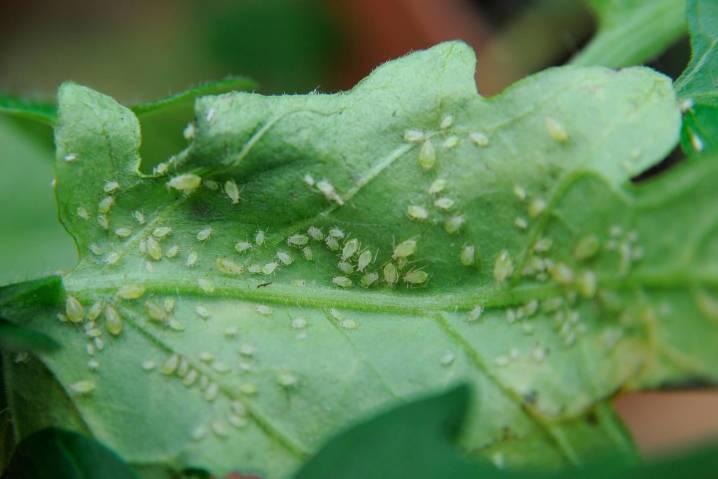 Тля на комнатных растениях: как бороться с вредителем народными методами и химическими средствами