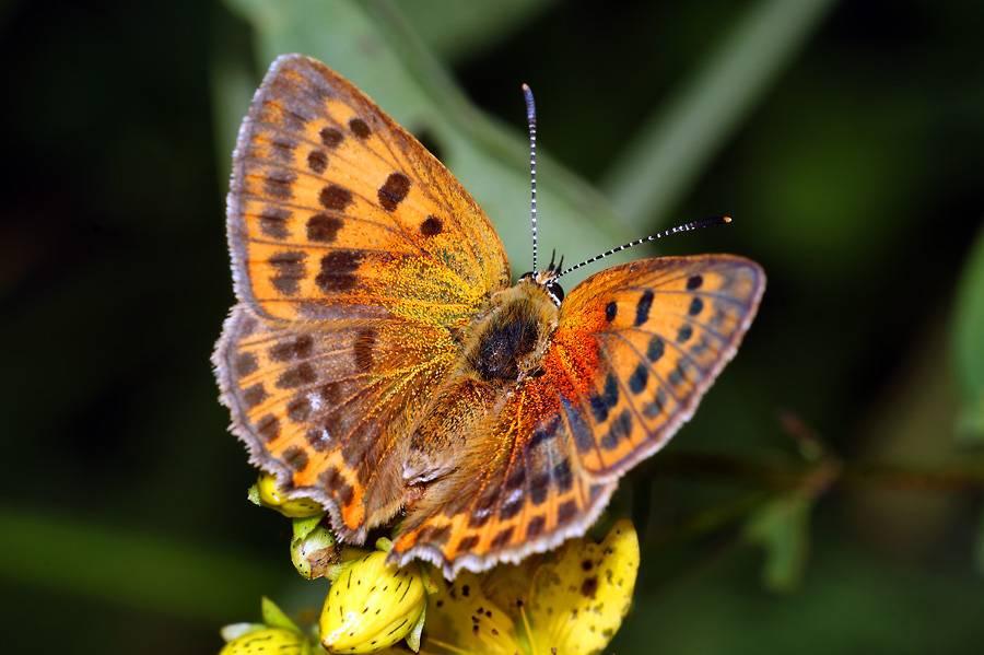 Бабочка – виды и описание семейства