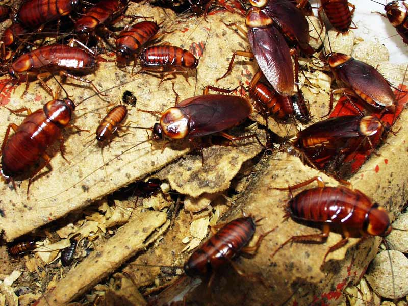 Всё о тараканах: почему называют стасиками, как выглядят, чем питаются