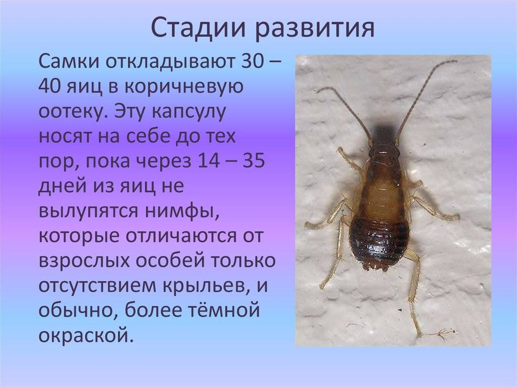 Как бороться с прусаками в квартире, как вывести рыжих тараканов: способы избавления в домашних условиях