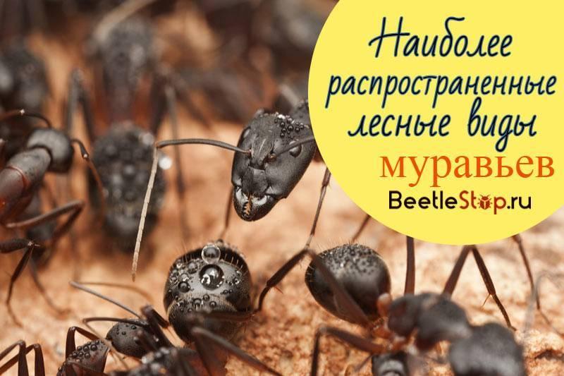 Основные виды и описание муравьев