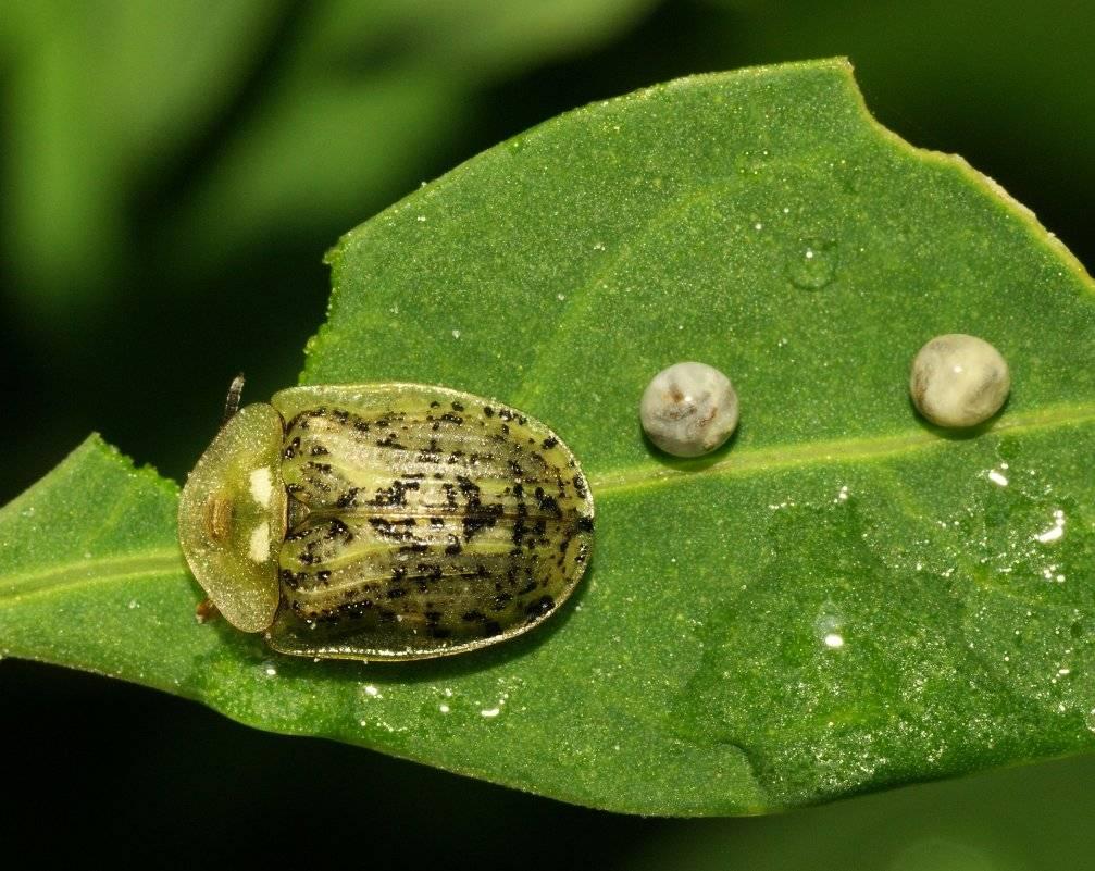 Свекловичная муха: как бороться, химические и народные средства