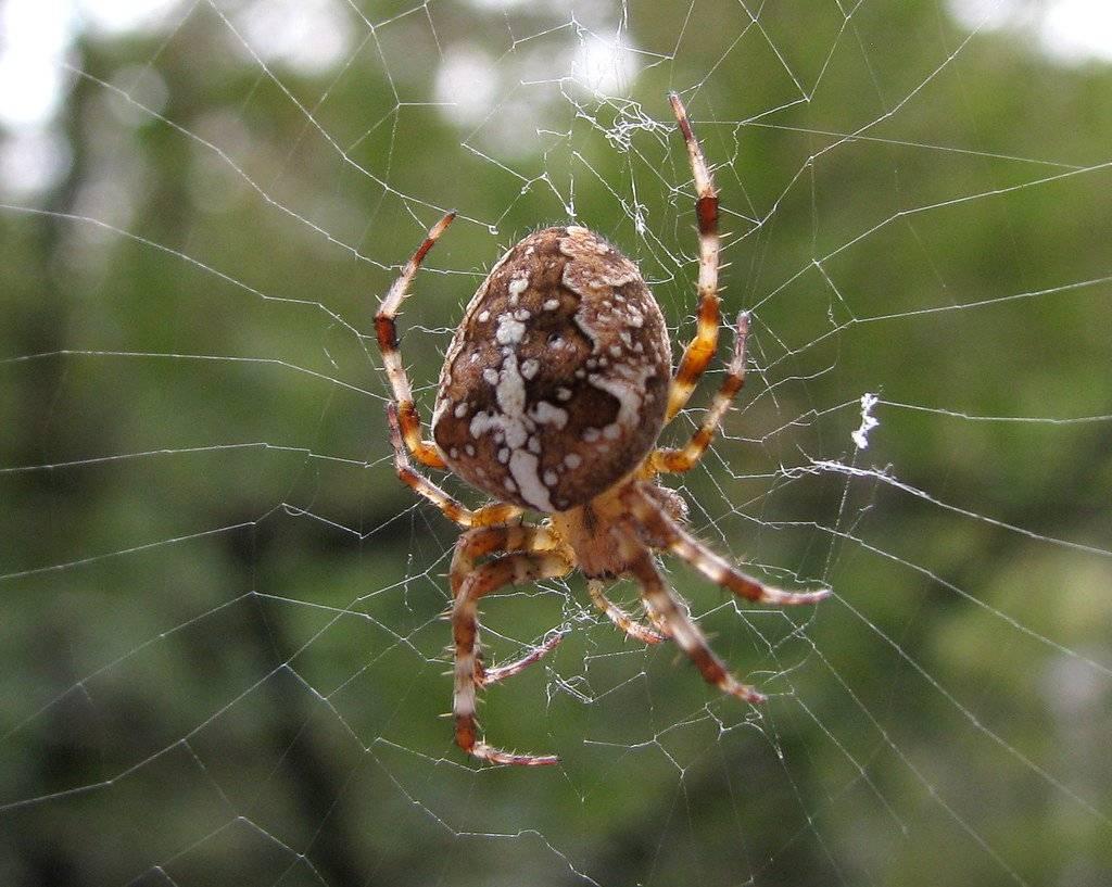 Самые известные и опасные пауки России