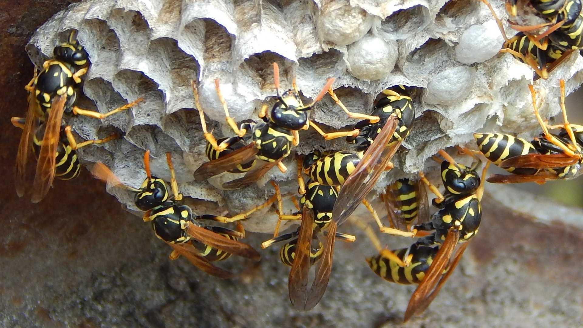 Сколько живут осы – семейная иерархия насекомых. подробно о личинках ос и особенностях их жизненного цикла