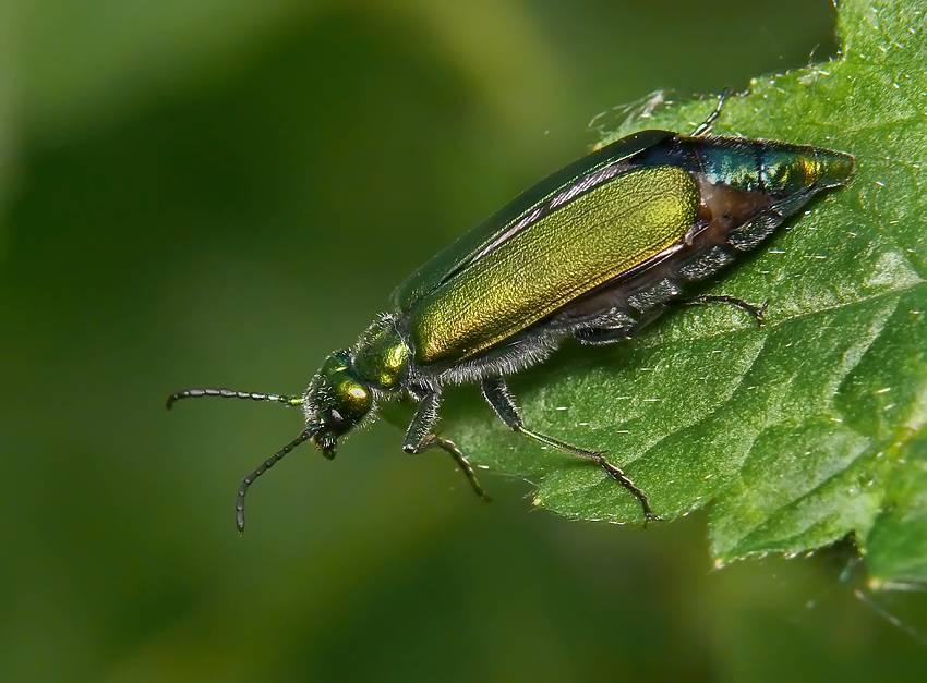 Ясеневая шпанка — привлекательный и опасный жук