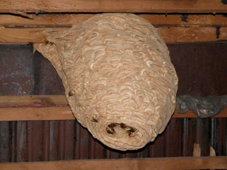Как бороться с шершнями и выводить их в условиях дачи
