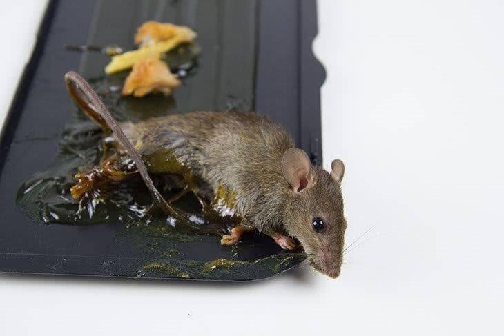 Как избавиться от мышей навсегда: на даче, в частном доме, чем отпугнуть, эффективные народные средства, травить