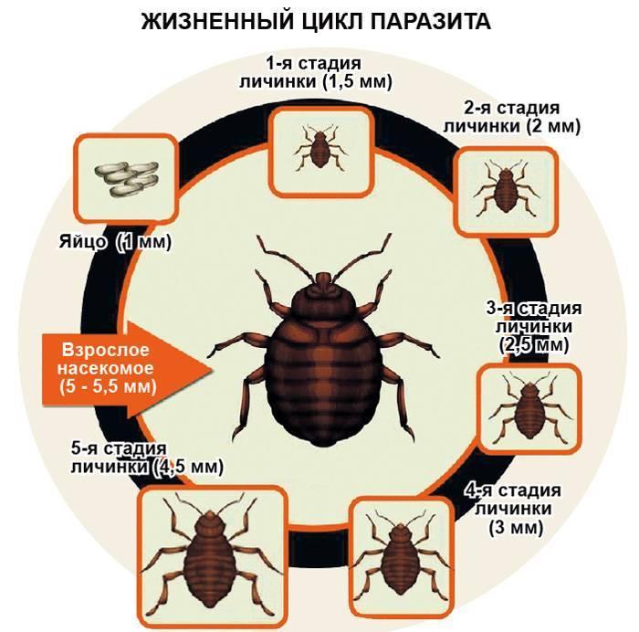 Как быстро размножаются домашние рыжие тараканы в квартире