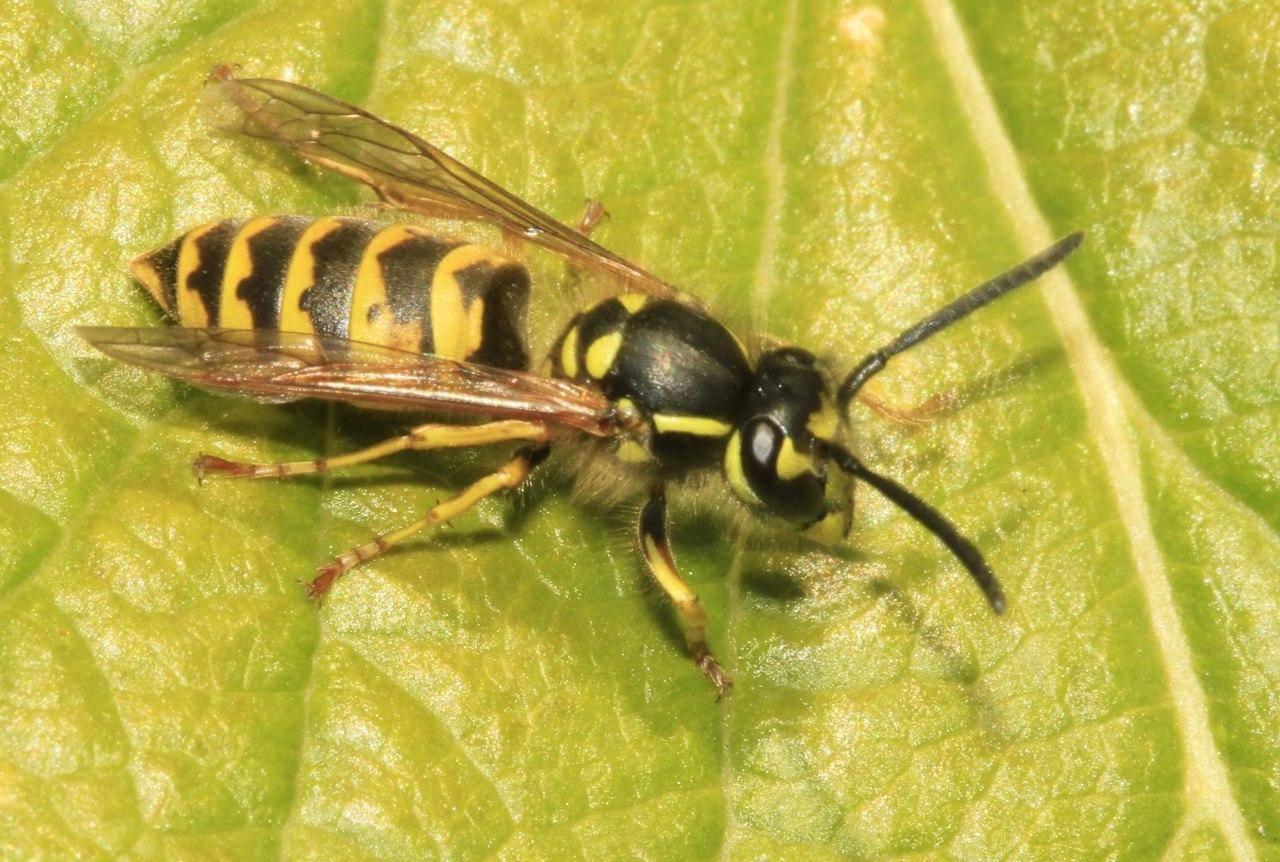 Чем питаются осы