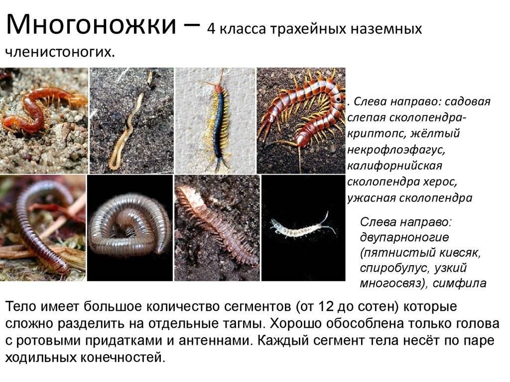 Полиподиум или многоножка (polypódium). уход дома, размножение.