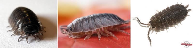 Мокрица: как выглядит насекомое, чем питается, виды, к какому классу относятся, откуда берутся в доме