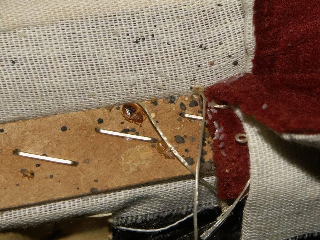 Как вывести клопов из дивана: методы борьбы с клопами