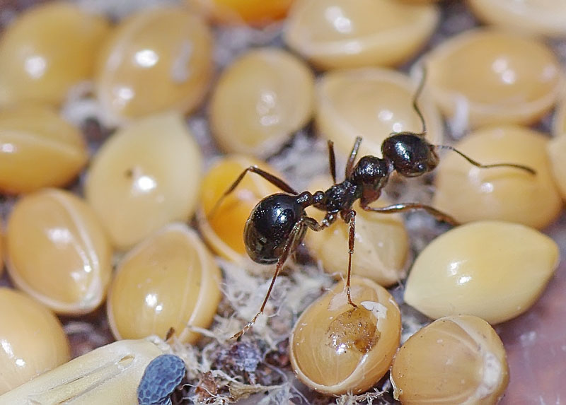 Чем питаются муравьи в природе?