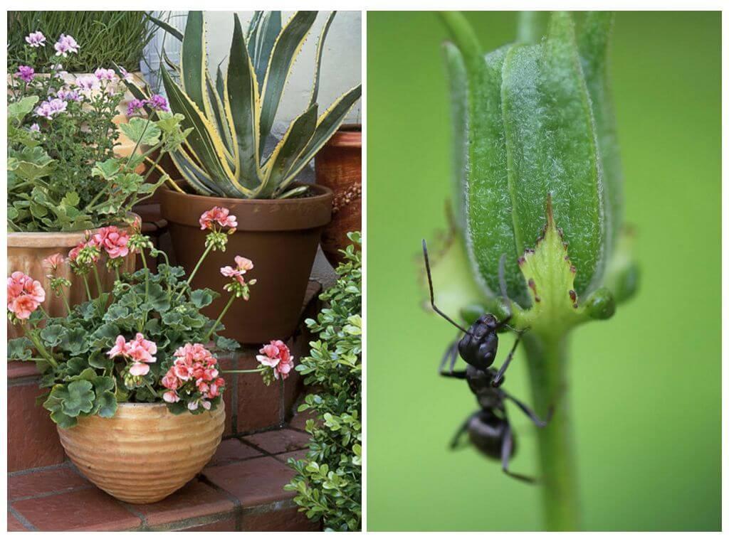 Как избавиться от муравьев в комнатных цветах