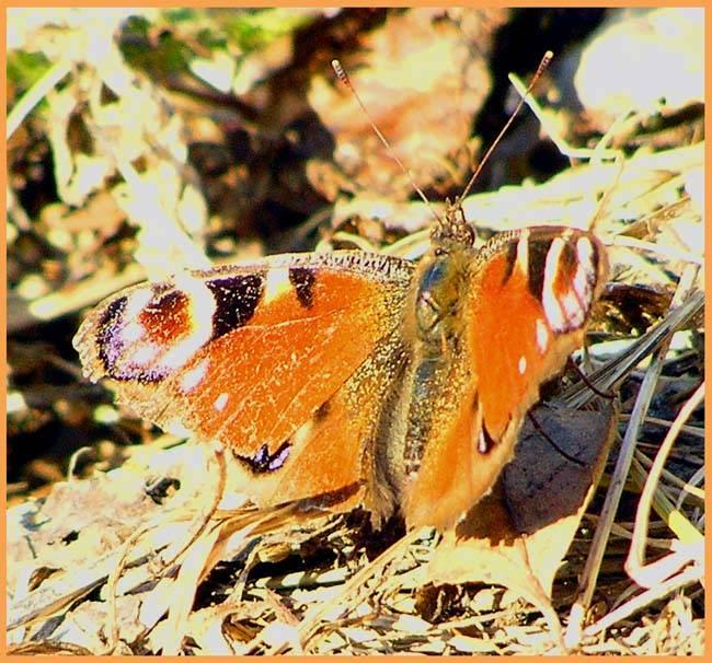 Бабочка павлиний глаз доклад сообщение