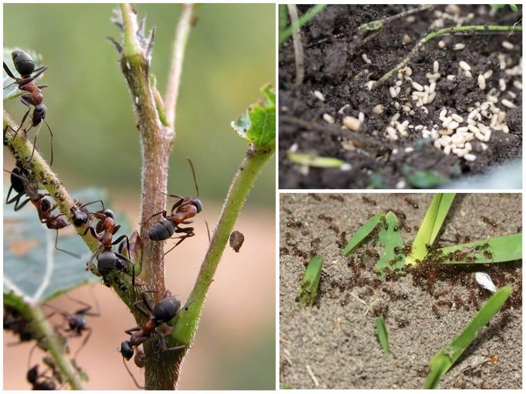 Как бороться с муравьями в огороде и саду: 30 лучших способов