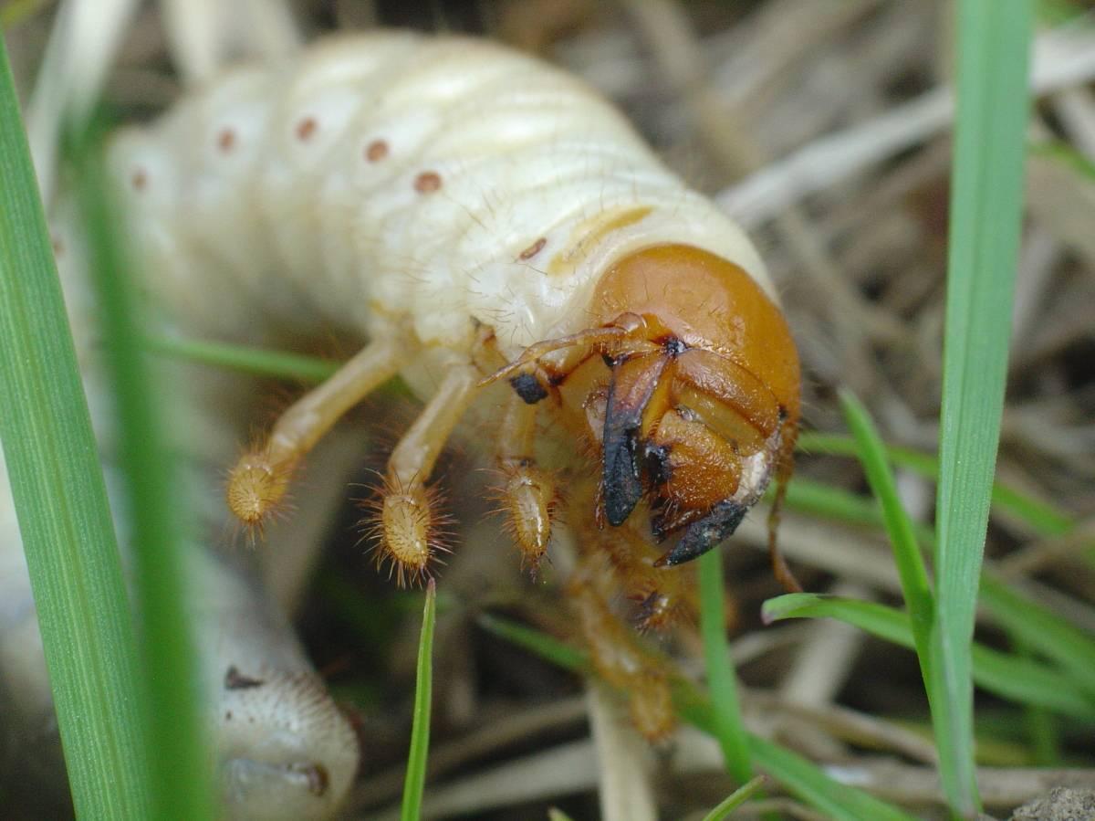 Как бороться с личинками майского жука: как избавиться от хруща на клубнике русский фермер