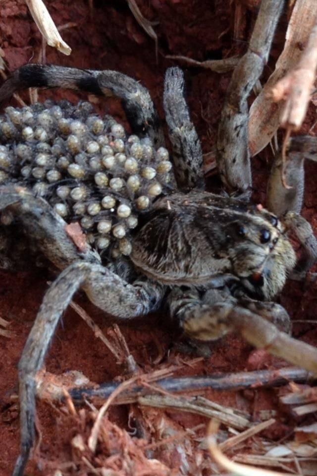Виды пауков - описание, насекомое это или животное, размножение и факты