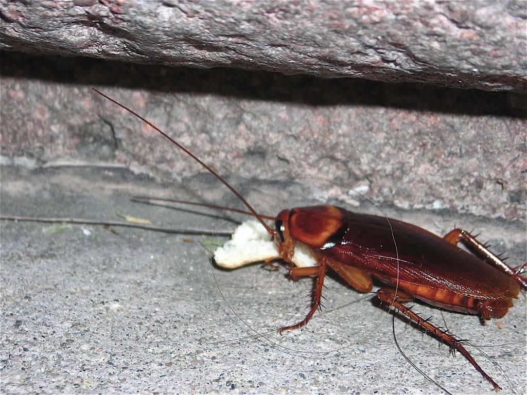 Топ-10 самых больших тараканов в мире