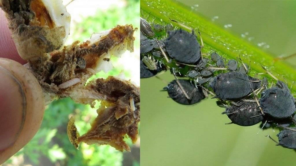 Морковная муха: как бороться, чем обработать - народные средства, химические инсектициды