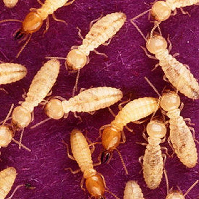 Термиты - фото, описание рабочих, солдат и королевы термитов