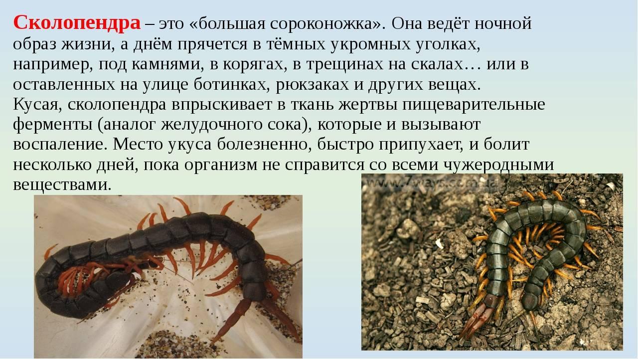 Укус сколопендры: чем опасен и каковы последствия? укус сколопендры: чем опасен и каковы последствия?